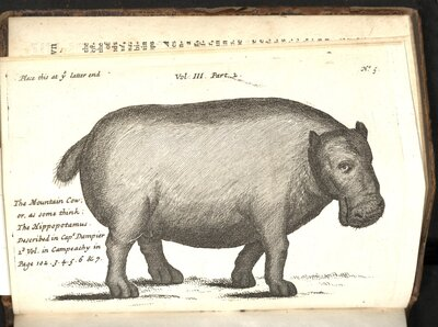 Continuation of a Voyage to New Holland  - Hippopotamus